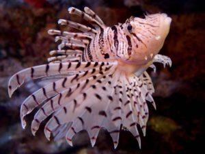 ミノカサゴ,毒魚