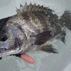 黒鯛釣りの仕掛けと釣り方の解説!実は簡単に釣れる事が判明!