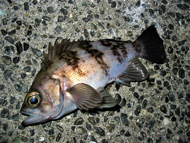 メバル釣りは誰でも簡単に始められる!【釣り方や仕掛けなどの解説】